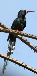 Green Wood-Hoopoe (Phoeniculus purpureus)