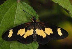 Telchinia cabira female