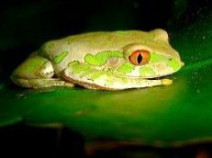 Natal Tree Frog