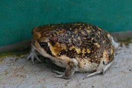 Bushveld Rain Frog