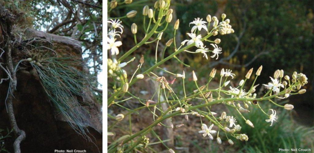 Drimia flagellaris (Hyacinthaceae)