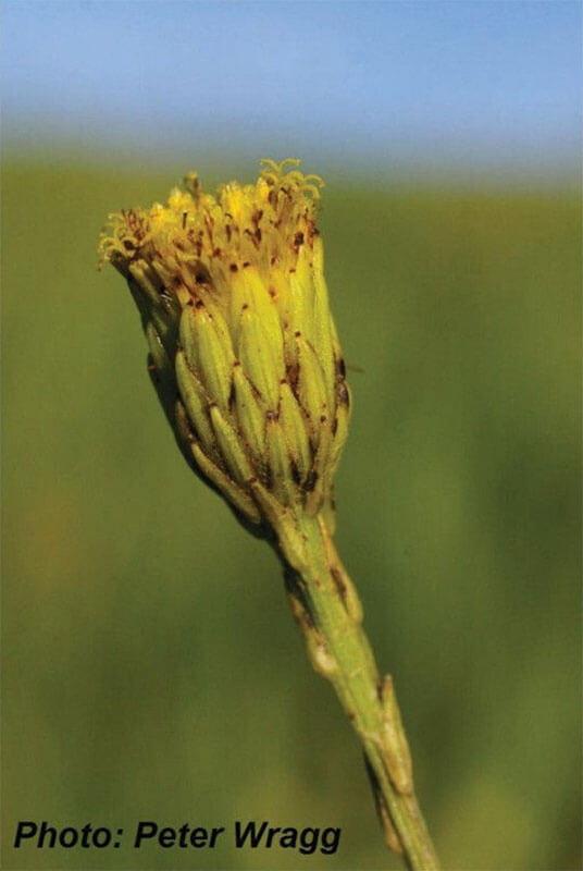Senecio exuberans (Asteraceae)